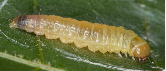 First Detection of Pecan Bud Moth in Arizona